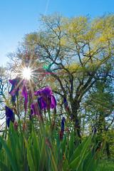P1080637_DxO (DouxVide) Tags: france gx8 mft m43 nature daytime sunbursts sun sunstars trees flower iris green spring light rays