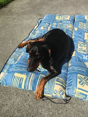 Relaxing In The Sun - Dobermann Pinscher Gabbana (firehouse.ie) Tags: doberman animals canine k9 pinscher pinschers dobermans dobermanns dobermann dobies dobie dobeys dobey dobes dobe dogs dog girl female gabby gabbana