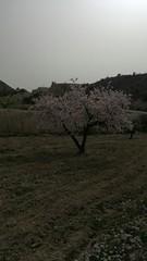 Abanilla. Murcia (España) (MiguelGR94) Tags: paisaje árbol cerezo vege vegetación vegetation geografíafísica physicalgeography herb herbáceo nublado