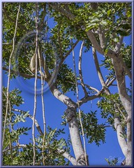 Sausage Tree (Sugardxn) Tags: garypentin photoshop picswithframes sugardxn canon canon7d canoneos7d frame cayman grandcayman outdoor island tropical sausagetree kigeliapinnata tree fruit hanging vine