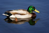 duck still water (stevehimages) Tags: duck mallard essington lake steve steveh stevehimages higgins wowzers warden west midlands grandpas grandpasden den 2017 still water