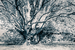 Kew - April 2017  - -4-Edit.jpg (Colin Dorey) Tags: cappadocian maple acer cappadocicum bw blackwhite monochrome blackandwhite kew kewgardens shadow tree botanic gardens richmond surrey uk london