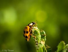 Ladybird (christelerousset) Tags: coccinelle ladybird vert green orange nature jardin printemps spring insectes beauté beauty herbe garden macro