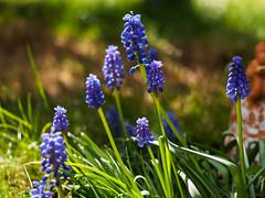 Frühling  in blau - in explore (mohnblume2013) Tags: hyazinthen blau garten frühling bokeh blumen