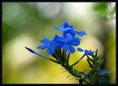 IMG_3077 Bokeh Blues 4-4-17 (arkansas traveler) Tags: flowers plumbago bokeh bokehlicious nature naturewatcher natureartphotography zoom telephoto blue