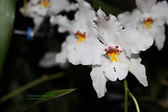 Odontoglossum nobile 6267 (A. Romanko) Tags: odontoglossum nobile
