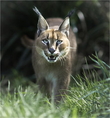 Griffin Caracal 2 (jdl1963) Tags: wildlife heritage foundation big cat sanctuary carnivore endangered feline smarden kent animal griffin caracal