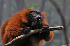 norland d. cruz photography: visit the bronx zoo to see madagascar's red-ruffed lemur (norlandcruz74) Tags: lemurs lemur primate primates animal animals bronx zoo zoological park ny new york us usa america norland cruz filam filipino pilipino madagascar redruffed red colors vaceria rubra species endangered rainforest mammal mammals african africa