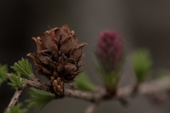 Nach der Transformation (Rose N. Kohl) Tags: makro macro nahaufnahme tannenzapfen frühling outdoor spring nikon deutschland germany thüringen