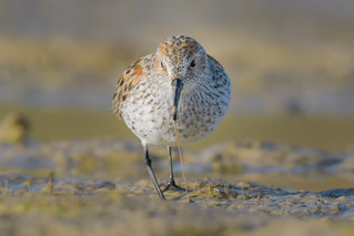 Western Sandpiper with Worm