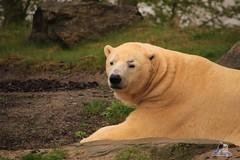 Erlebniszoo Hannver 15.04.2017 030 (Fruehlingsstern) Tags: eisbären polarbear sprinter melana elefanten seelöwen weiskopfseeadler yukonbay erlebniszoohannover hannover canoneos750 tamron16300 zoo
