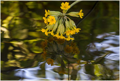 IMG_3756 (Derek.S) Tags: burntwood england unitedkingdom gb garden flowers reflection cowslip