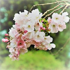 blossoms........... (atsjebosma) Tags: blossoms bloesem spring lente garden macro bokeh tuin atsjebosma groningen nederland april 2017 thenetherlands