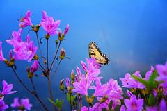 Spring Visitor (Jim Liestman) Tags: dehartbotanicalgarden spring butterfly azalea