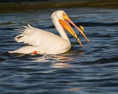 American White Pelican, breeding adult (Becky Matsubara) Tags: americanwhitepelican bird birds elkhornslough elkhornsloughsafari pelican shorebirds whitepelican pelecanuserythrorhynchos awpe