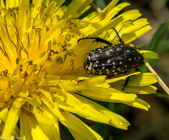 Black on Yellow (Th.Duerr) Tags: bug käfer makro gelb schwarz black yellow löwenzahn dandelion fe 90mmf28macrogoss sonyilce6000