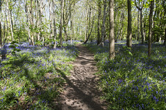 Burton Mere Bluebell Wood (David Chennell - DavidC.Photography) Tags: bluebell bluebellwood woodland path pathway woods spring wirral burton cheshire