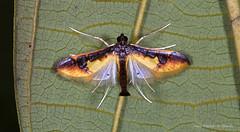 Moth (Almir Cândido de Almeida) Tags: mariposa moth amapa ap serra do navio inseto insecta lepidoptera