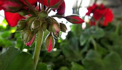 Fresh April Bloom (Jaye Eryk) Tags: flower bloom hair spring april red green pic photo photography nature