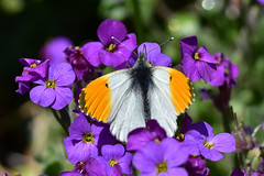 Male Orange Tip on Aubrieta