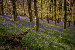 The Wenallt (parry101) Tags: cardiff caerphilly south wales wenallt woods bluebell bluebells tree trees nature wood woodland forest geraint parry geraintparry sunlight sun