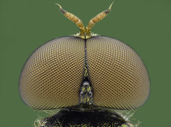 2017-04-19-15.10.02_Soldierfly_175_10um (PressnHold) Tags: fly flies soldierfly green compound eyes stack stacked stacking macro closeup saigon vietnam nikon mplan pb6 bellow