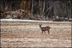 Rådjur (Jonas Thomén) Tags: rådjur roedeer field åker linda gräs grass skog forest animal djur bock spring vår snow snö