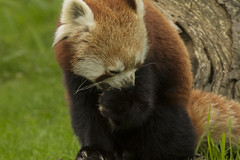 (_jypictures) Tags: red panda redpanda animalphotography animals animal canon7d canon canonphotography chesterzoo chester zoo zoophotography wildlife wildlifephotography nature naturephotography jyphotography jypictures photography pictures