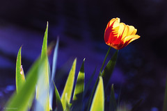 The Living Daylights. (sdupimages) Tags: flowers tulips dof bokeh macro tamron strong light tulipes fleurs flores flora 7dwf
