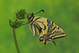 Papilio machaon (7)