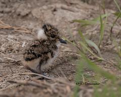 Jonge Kievit (jeannette.dejong) Tags: veluwe vogel kievit bruin groen gelderland nijkerk nederland ngc naturelovers