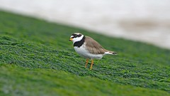 Common Ringed Plover (Peet Carr) Tags: charadriushiaticula charadrius plover ringerplover commonringedplover charadriidae charadriiformes neoaves neognathae neornithes rspbminsmere minsmere rspb