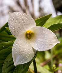 "Classic ""rare"" flower . . . (Dr. Farnsworth) Tags: flower trillium white petals yellow stamen green leaves monocot hoffmaster nature center deer whitetailed festival westlake mi michigan spring april2017"