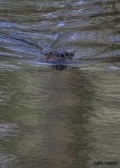 Otter pup at Muscatatuck NWR (flintframer) Tags: pup otter river nwr muscatatuck indiana southern wow nature wildlife mammals swimming young spillway dattilo canon eos 7d markii ef600mm 14x