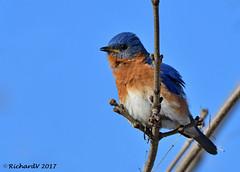 Merle Bleu de L'est / eastern Bluebird (Richard Vézina) Tags: bird bluebird wildlife nikond500 tamron150600mmg2