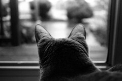 Watching The Rain (Brock5604) Tags: door pet slr film window glass rain cat 35mm outside nikon feline looking kodak head trix watching kitty ears indoor d76 rainy 400 behind raining staring n55 homedeveloping