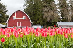 vivid pink tulip field and farmer barn (Kanonsky) Tags: seattle morning pink mountain plant flower color tree nature floral beautiful field bulb barn washington leaf spring flora colorful tulips bright blossom farm vibrant seasonal harvest scenic vivid row petal valley bloom agriculture