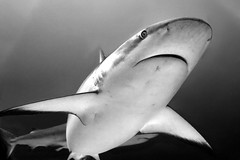 Blacktip Shark (stokes rx) Tags: shark underwater scuba roatan blacktip