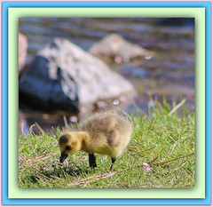 New Life (bigbrowneyez) Tags: canada nature water beautiful sunshine river rocks dof quebec sweet bokeh ottawa fluffy natura special gosling newlife bello andrewhaydenpark bellissimo acua vitanuova