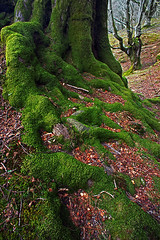 root of tree with green moss (Mikel Martnez de Osaba) Tags: old tree green nature forest moss branch natural perspective growth bark trunk root beech