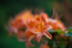 IMG_1555 (mikereidphotography) Tags: flowers abstract flower floral dof bokeh rhododendrons canonphotography zeiss50mmze