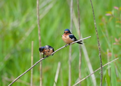 Barn Swallows (K V King) Tags: nature birds nikon wildlife barnswallows swallows d600