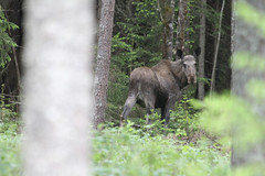 Igr i skogen... (tienna) Tags: animal moose djur lg