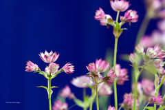 Astrantia major... (gerrygutteridge) Tags: flowers flower canon nationalgeographic naturephotography astrantiamajor canoneos1dmk111 300f28is ef300mmf28isusml gerrygutteridge 300f28lisusm digitallywatermarkedimage