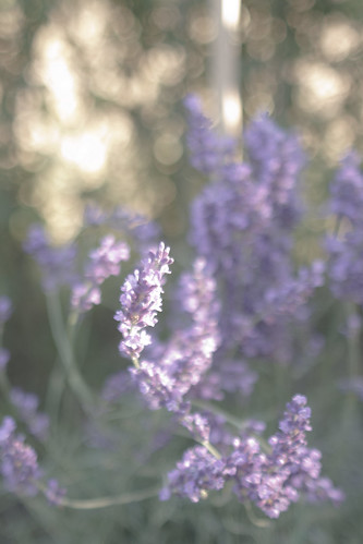 Home-made Lavender