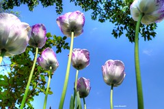 spring tulips (Anton Shomali - Thank you for visiting.) Tags: pink flowers blue trees sky white clouds garden spring tulips may bluesky mayflowers springtulips antonshomali