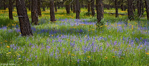 Photo - Meadow of wildflowers in an OSMP ponderosa pine forest.