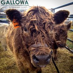 IMG_5110 (Joccoaa Australian Photographer) Tags: hairy tongue square cows cloudy australia lizzie curly hay galloway iphone mudgee smallfarmfielddays
