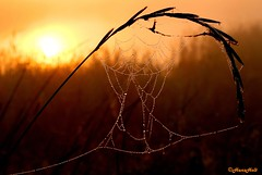 spiderweb with mist drops (HansHolt) Tags: sun mist fog sunrise drops spiderweb hoogeveen zon zonsopgang spinnenweb druppels canonef24105mmf4lisusm canoneos6d oudekene