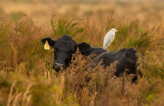 Black and White. (Sergio Bitran M) Tags: usa bird dinner mammal ave northamerica mamifero 2013